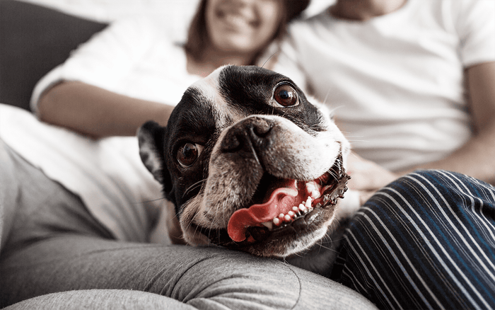 french bull dog, petsmile blog, information for cats and dogs, oral healthcare for pets