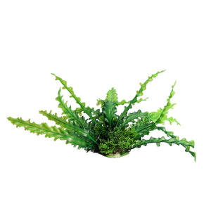 Aqua one Medium Ruffled Lace Green Artificial Aquarium Plant 20cm Tall
