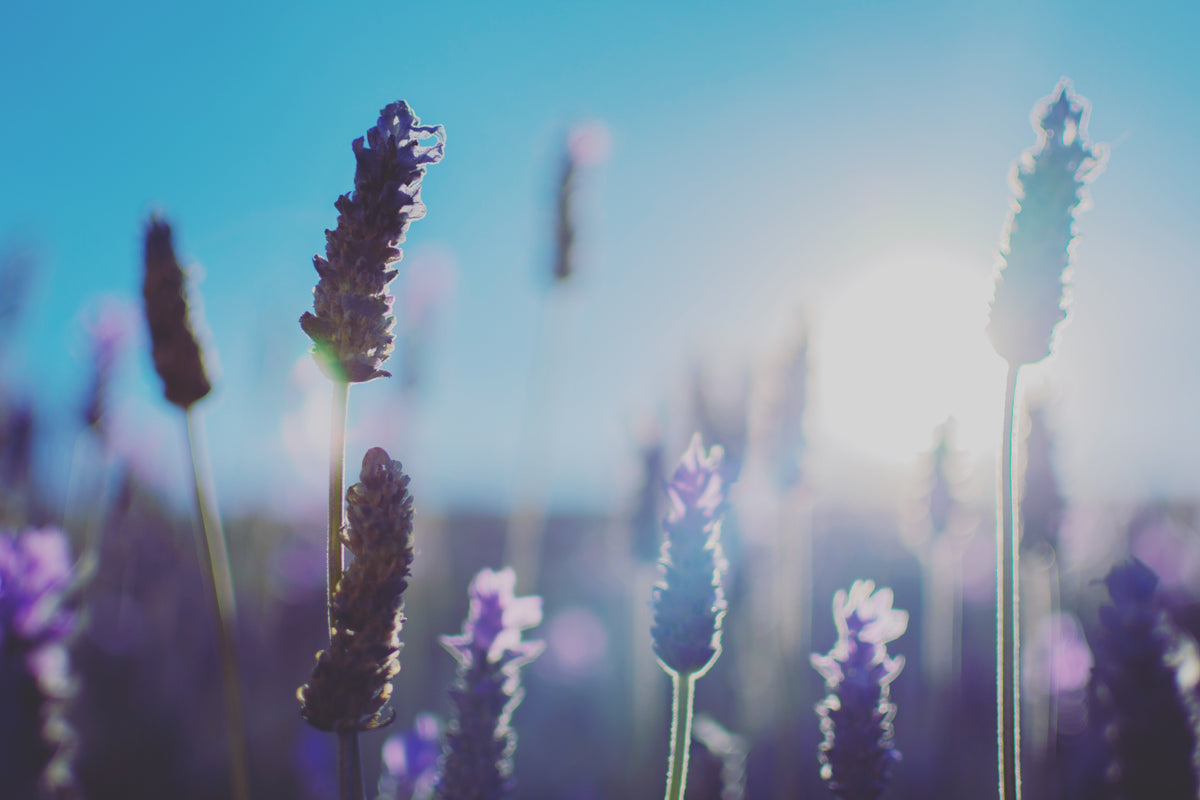 Lavender - Soothing the body and mind