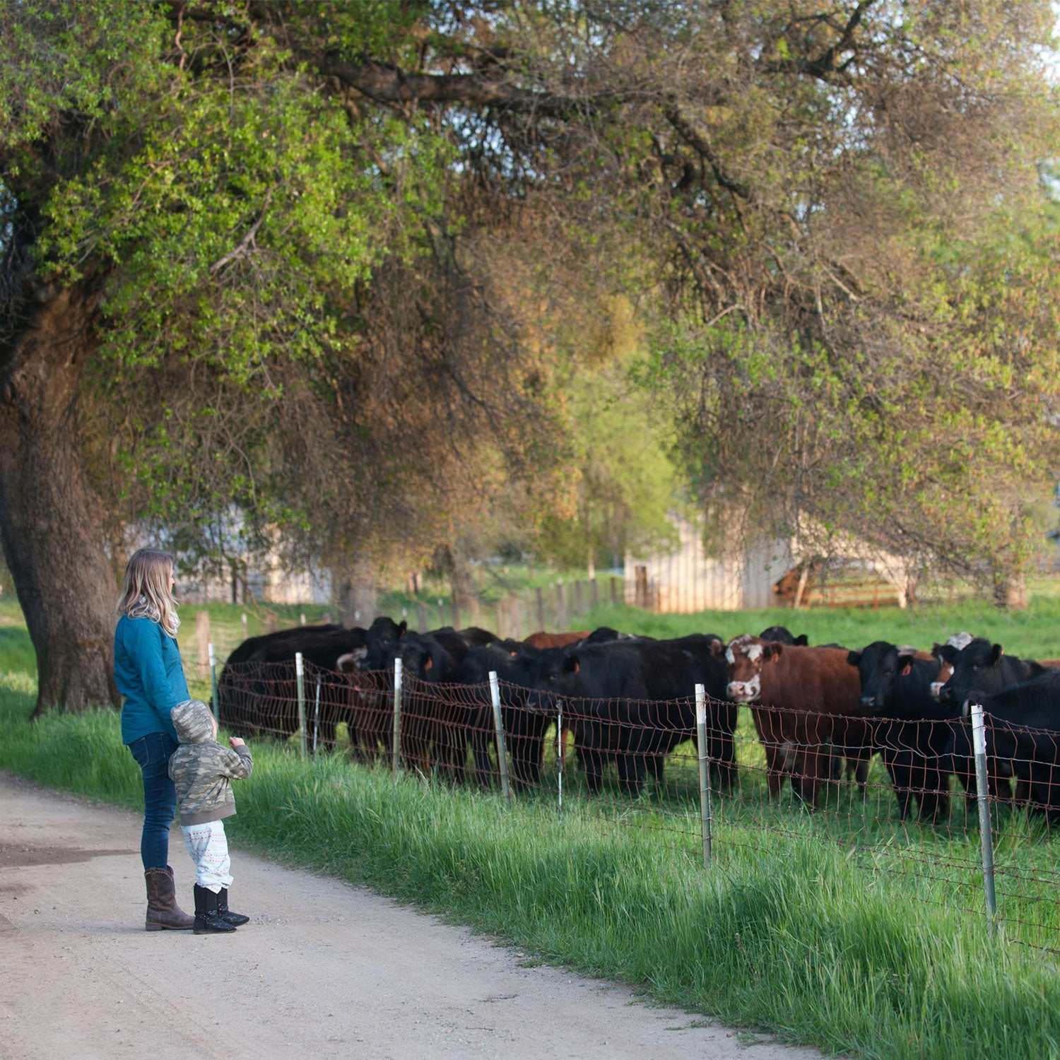 grassfed cattle on Richards Farm, a provider for Country Archer Provisions