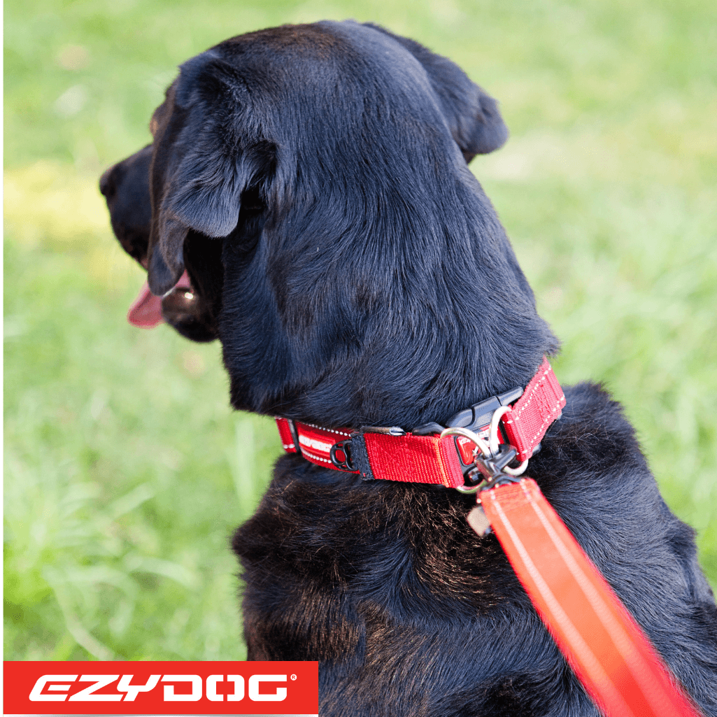 EzyDog Double Up Dog Collar on Black Labrador EzyDog Collar Australia
