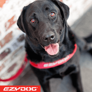EzyDog Quick Fit Harness on Labrador