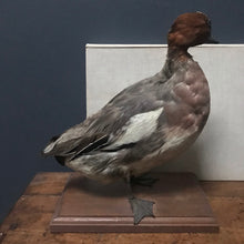 SOLD - French Taxidermy Duck