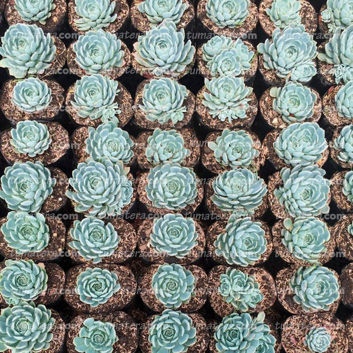 SUCULENTA ECHEVERIA AZUL MINI B10 - Tumatera.co