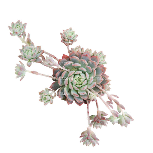 Suculenta Echeveria Rosada Mini vista superior