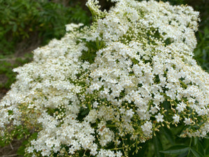 Herbal Tea - Elderflower