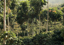 Brazil - Primavera - Yield Coffee Roasters
