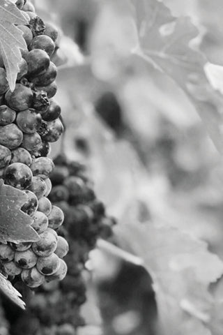 Black & White Canvas - Vineyards & Wine