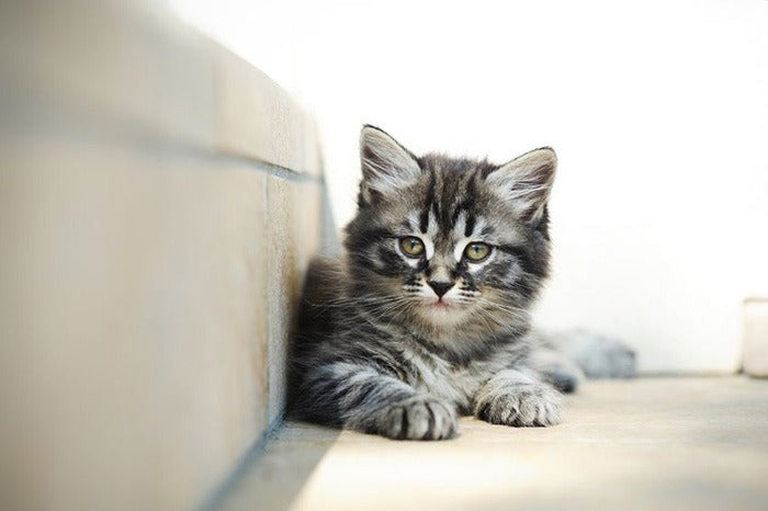 cute alert kitten resting on indoor stairs