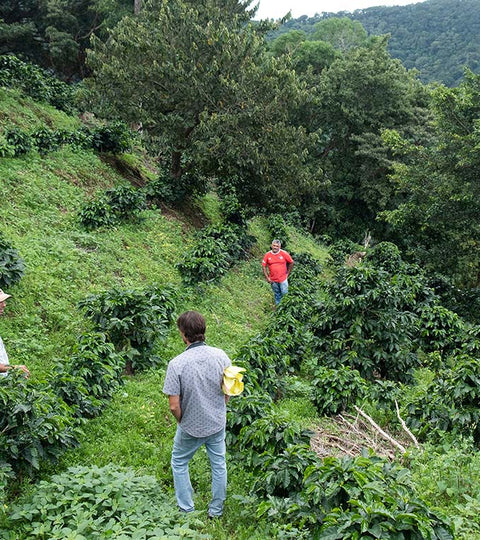 Coffee farmers among the coffee crops in Costa Rica