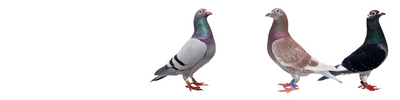 Racing Pigeon Supplies