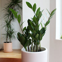 ZZ (Zamioculcas Zamifolia) in Clay Planter