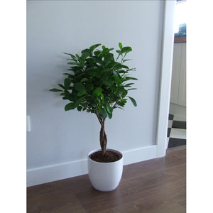 Ficus Moclame in Clay Planter