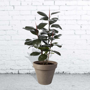 Rubber Plant with Planter