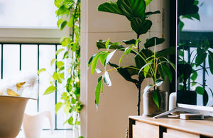 Fiddle Leaf Fig Tree