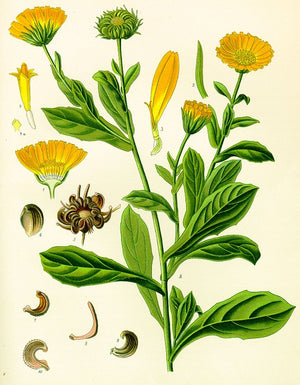 Neven – Calendula officinalis