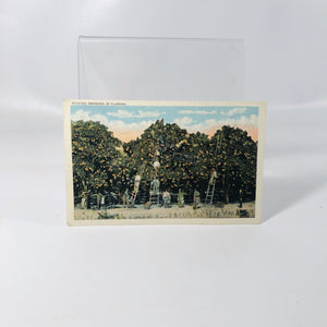 Vintage Souvenir Postcard of Picking Oranges in Florida with a 1 Cent Stamp