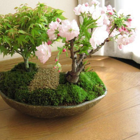 Image of DIY Home Garden Bonsai Seeds
