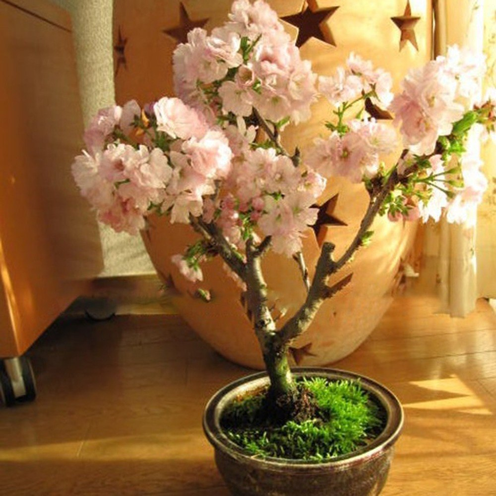 DIY Home Garden Bonsai Seeds