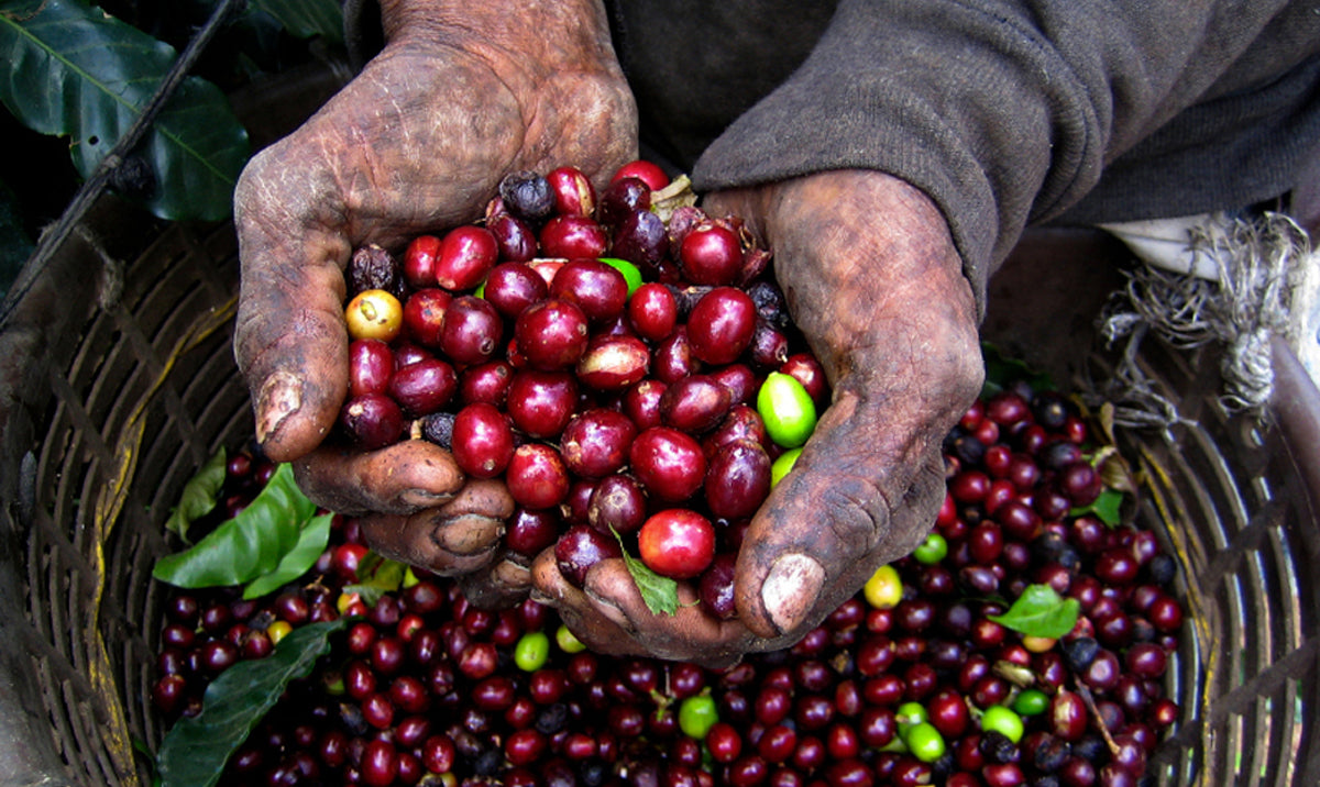 The History of Coffee, Part 1: Africa and Arabia – Scribblers Coffee Co.