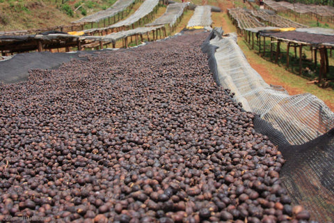 Ethiopian coffee cherries drying