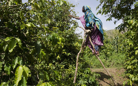 Ethiopian farmer harvests coffee using ladder made from tree branches