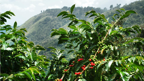 high-altitude Ethiopian coffee plantation