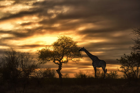 Giraffe eating from tree at dusk