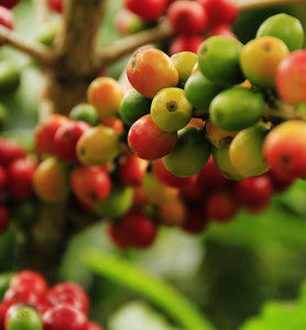 cluster of arabica coffee cherries