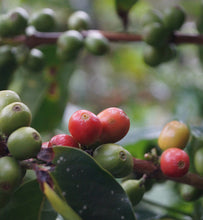 coffee cherries ripening on a coffee tree branch