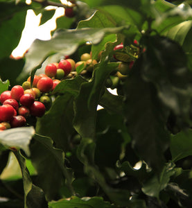 colombian coffee cherries ripen on coffee tree branch