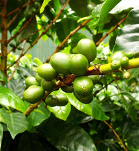 coffee cherries ripen on arabica coffee tree branch