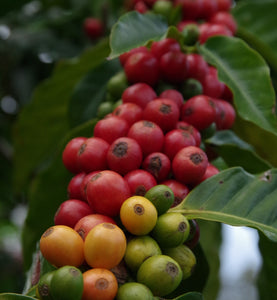 pink bourbon coffee beans growing on branch