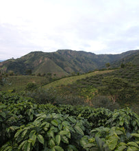 colombian pink bourbon plantation