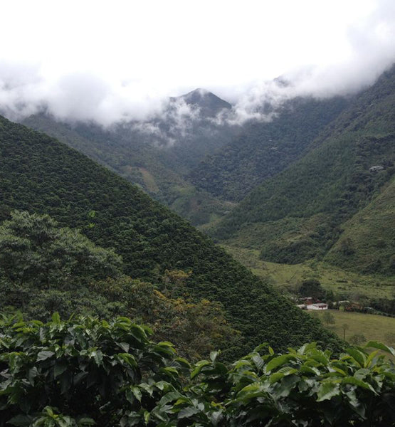 coffee plantation growing high-grown coffee