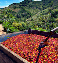 Colombian harvested coffee cherries