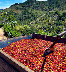 colombia harvested coffee cherries