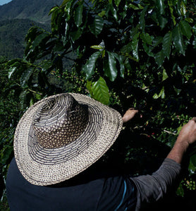 colombian coffee worker tending coffee cherries