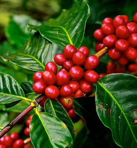 Costa Rican ripe coffee cherries growing on a coffee tree branch