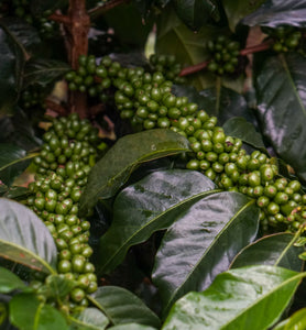 el salvador coffee fruit growing on branches