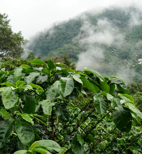 el salvador coffee plantation