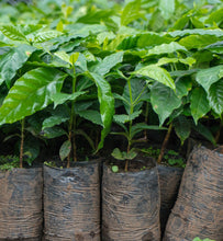 coffee plants ready to be planted