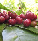 ethiopian coffee cherries ripen on a tree branch