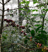 ethiopian coffee cherries growing wild in forest