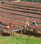 ethiopian workers tend to drying coffee cherries outside