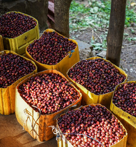 harvested coffee cherries stored in containers