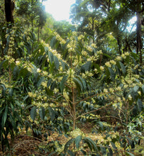 ethiopian coffee flowers on tree branch