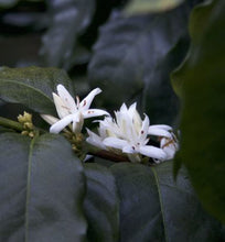 ethiopian flowers blooming on coffee tree