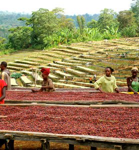 ethiopian workers sort coffee cherries on raised beds