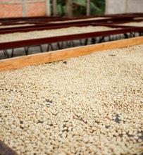 guatemala beans on drying tables